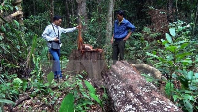 'Con đường xanh Tây Nguyên' thành điểm nóng… phá rừng - ảnh 2