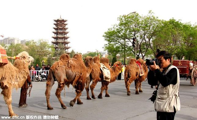 Diễu hành bằng lạc đà quảng bá sản phẩm trà - anh 3
