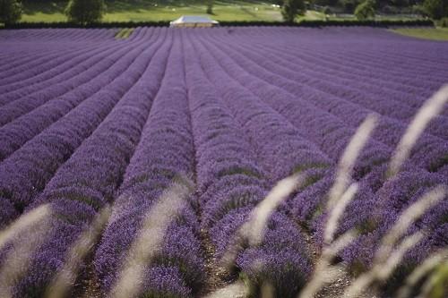Đắm chìm trong sắc tím của những cánh đồng hoa oải hương trên khắp TG - anh 10