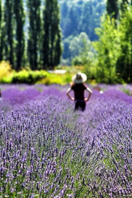 Đắm chìm trong sắc tím của những cánh đồng hoa oải hương trên khắp TG - anh 11
