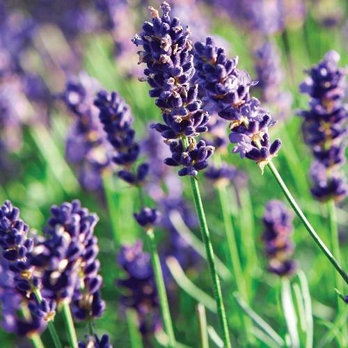 Đắm chìm trong sắc tím của những cánh đồng hoa oải hương trên khắp TG - anh 4