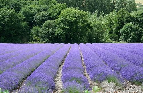 Đắm chìm trong sắc tím của những cánh đồng hoa oải hương trên khắp TG - anh 5