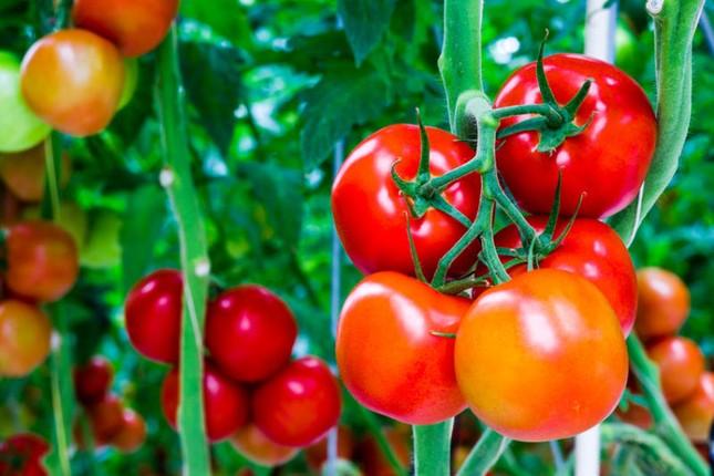 """Cà chua giúp cải thiện """"chuyện ấy"""" - anh 1"""