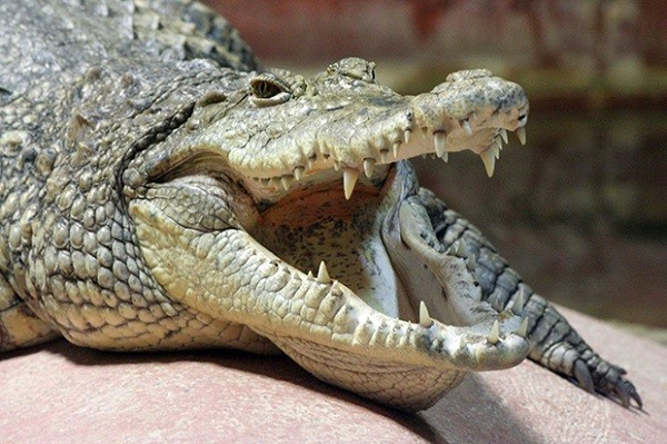 Top 12 loài động vật có cú đớp uy lực nhất thế giới tự nhiên - anh 1