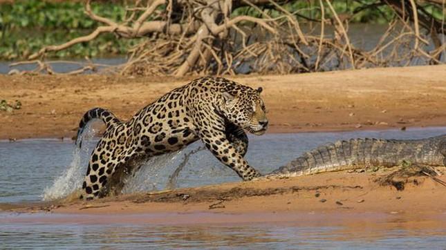 Top 12 loài động vật có cú đớp uy lực nhất thế giới tự nhiên - anh 4