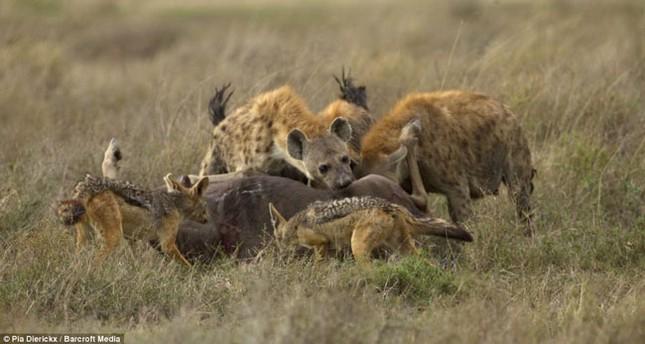 Top 12 loài động vật có cú đớp uy lực nhất thế giới tự nhiên - anh 6