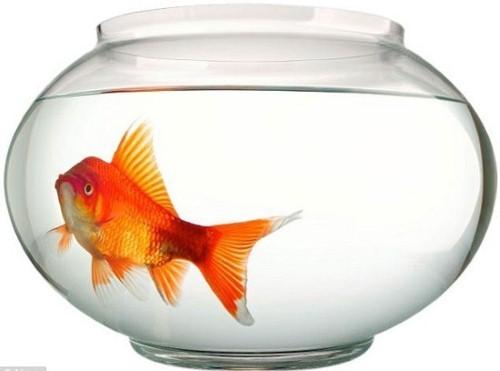 """Sự thật về não cá vàng và """"trí nhớ 3 giây"""" - anh 2"""