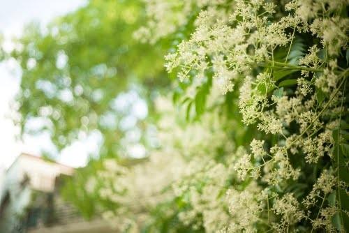 Đẹp rạng ngời Hà Nội 12 mùa hoa (phần 2) - anh 4