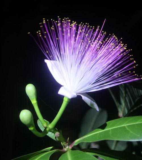 Du lịch Lý Sơn chiêm ngưỡng vẻ đẹp của hoa bàng vuông - anh 2