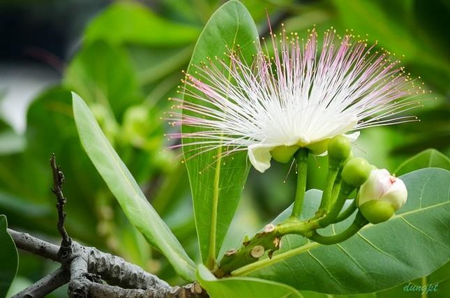 Du lịch Lý Sơn chiêm ngưỡng vẻ đẹp của hoa bàng vuông - anh 3