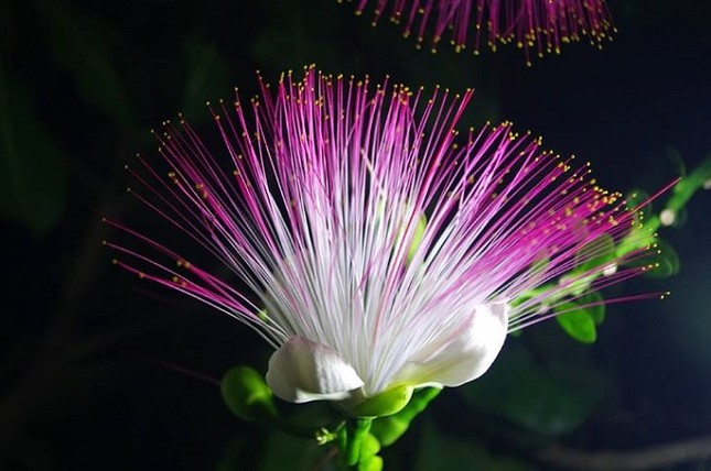 Du lịch Lý Sơn chiêm ngưỡng vẻ đẹp của hoa bàng vuông - anh 4