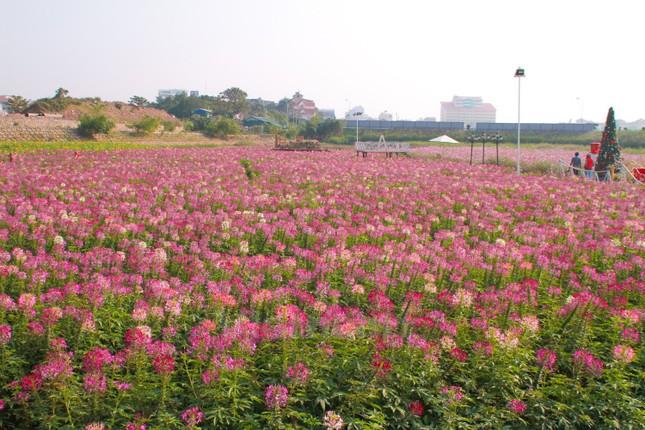 Những vườn hoa gần Hà Nội lý tưởng cho chuyến đi giáp Tết 2015 - anh 12