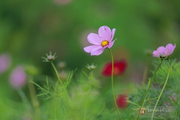 Những vườn hoa gần Hà Nội lý tưởng cho chuyến đi giáp Tết 2015 - anh 11
