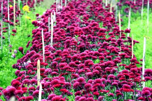 Những vườn hoa gần Hà Nội lý tưởng cho chuyến đi giáp Tết 2015 - anh 6
