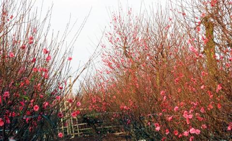 Những vườn hoa gần Hà Nội lý tưởng cho chuyến đi giáp Tết 2015 - anh 1
