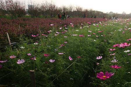 Những vườn hoa gần Hà Nội lý tưởng cho chuyến đi giáp Tết 2015 - anh 2