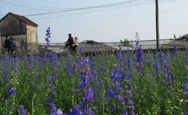 Những vườn hoa gần Hà Nội lý tưởng cho chuyến đi giáp Tết 2015 - anh 7