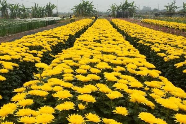 Những vườn hoa gần Hà Nội lý tưởng cho chuyến đi giáp Tết 2015 - anh 8