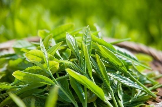 Cách sử dụng lá trà xanh giúp bé trị rôm sẩy vào những ngày hè nóng bức - anh 1