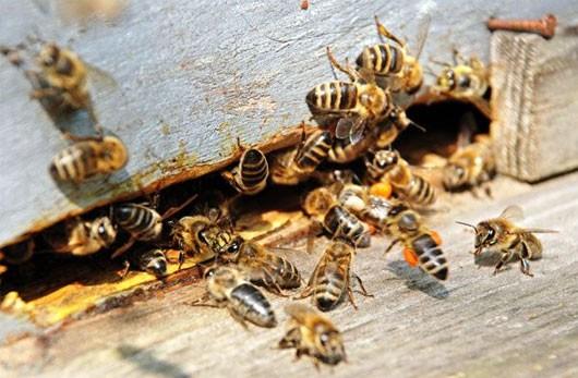 Vì sao loài ong tuyệt chủng thì con người cũng sẽ biến mất? - anh 1