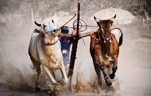 Độc đáo lễ hội đua bò Bảy Núi ở An Giang - anh 1