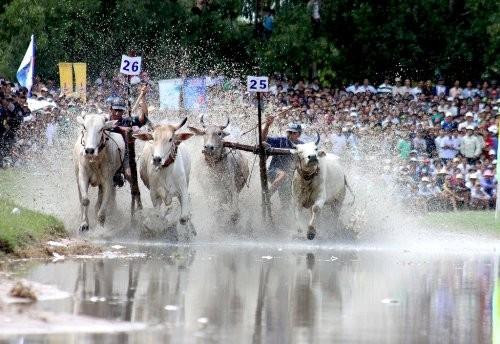Độc đáo lễ hội đua bò Bảy Núi ở An Giang - anh 2