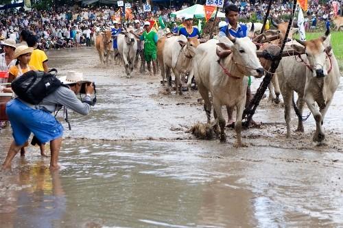 Độc đáo lễ hội đua bò Bảy Núi ở An Giang - anh 3
