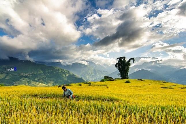 Đẹp mê hồn những cánh đồng lúa miền Bắc vào mùa gặt - anh 15