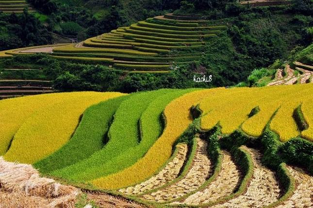 Đẹp mê hồn những cánh đồng lúa miền Bắc vào mùa gặt - anh 2