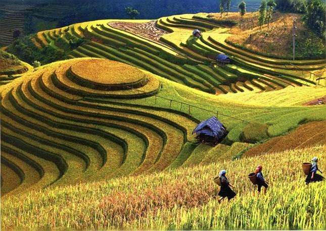 Đẹp mê hồn những cánh đồng lúa miền Bắc vào mùa gặt - anh 6