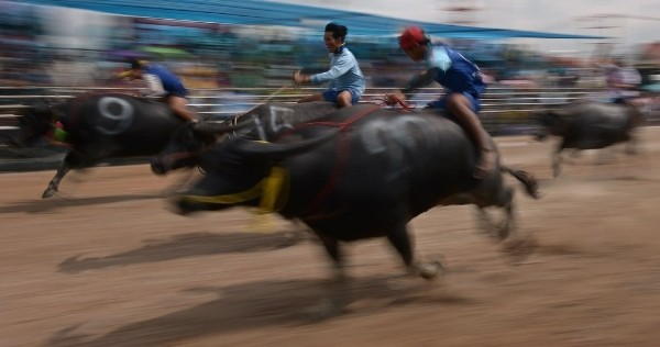 Độc đáo lễ hội đua trâu náo nhiệt ở Thái Lan - anh 1