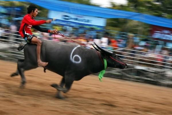 Độc đáo lễ hội đua trâu náo nhiệt ở Thái Lan - anh 2