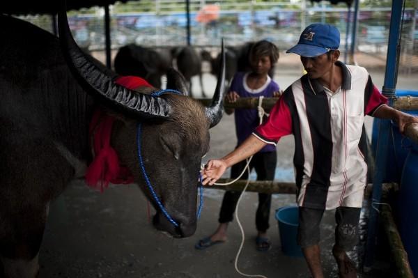 Độc đáo lễ hội đua trâu náo nhiệt ở Thái Lan - anh 4