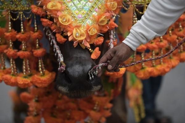 Độc đáo lễ hội đua trâu náo nhiệt ở Thái Lan - anh 6