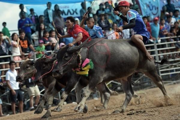 Độc đáo lễ hội đua trâu náo nhiệt ở Thái Lan - anh 7