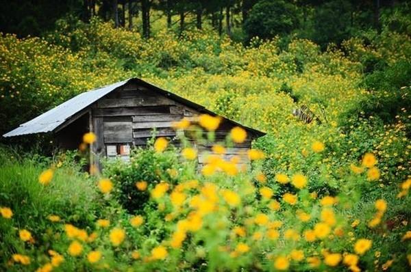 Mê mẩn với sắc vàng rực của hoa dã quỳ đầu đông ở Đà Lạt - anh 1