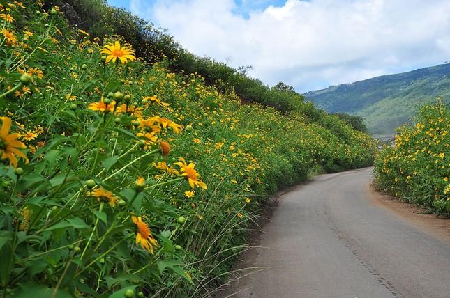 Mê mẩn với sắc vàng rực của hoa dã quỳ đầu đông ở Đà Lạt - anh 2