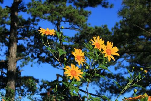 Mê mẩn với sắc vàng rực của hoa dã quỳ đầu đông ở Đà Lạt - anh 4
