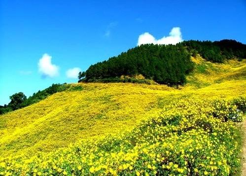 Mê mẩn với sắc vàng rực của hoa dã quỳ đầu đông ở Đà Lạt - anh 5