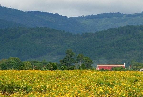 Mê mẩn với sắc vàng rực của hoa dã quỳ đầu đông ở Đà Lạt - anh 9