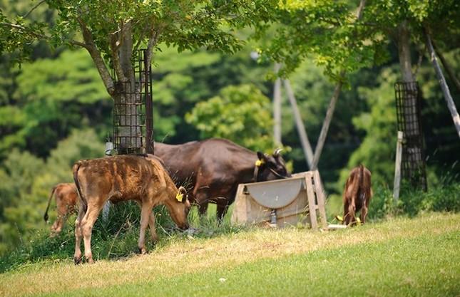 Lý giải nguyên nhân thịt bò Kobe có giá ngàn đô - anh 3