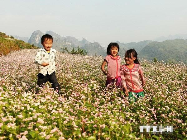 Lào Cai trồng thêm 30ha hoa tam giác mạch tạo điểm nhấn du lịch - anh 1