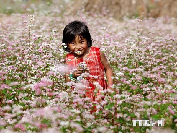 Lào Cai trồng thêm 30ha hoa tam giác mạch tạo điểm nhấn du lịch - anh 2