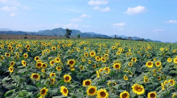 Nao lòng với cánh đồng hoa hướng dương vàng rực ở miền Tây xứ Nghệ - anh 10