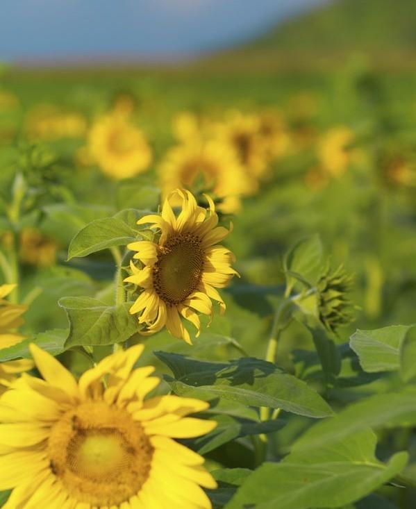 Nao lòng với cánh đồng hoa hướng dương vàng rực ở miền Tây xứ Nghệ - anh 11