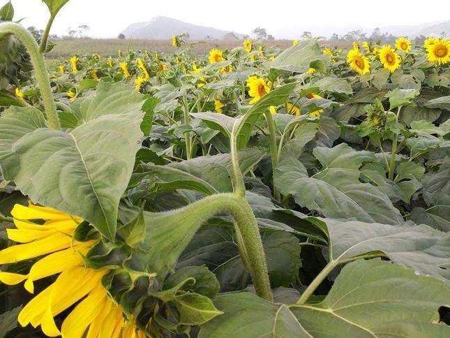 Nao lòng với cánh đồng hoa hướng dương vàng rực ở miền Tây xứ Nghệ - anh 3