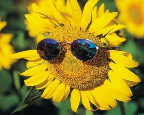 Nao lòng với cánh đồng hoa hướng dương vàng rực ở miền Tây xứ Nghệ - anh 1