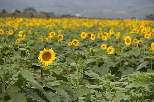 Nao lòng với cánh đồng hoa hướng dương vàng rực ở miền Tây xứ Nghệ - anh 4