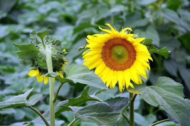 Nao lòng với cánh đồng hoa hướng dương vàng rực ở miền Tây xứ Nghệ - anh 5