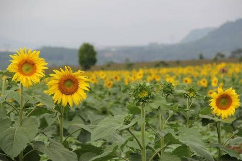 Nao lòng với cánh đồng hoa hướng dương vàng rực ở miền Tây xứ Nghệ - anh 6